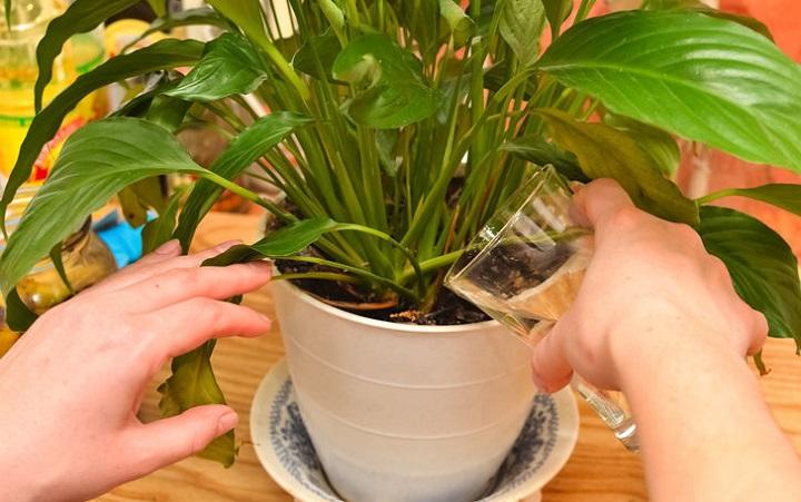 Простенькое средство сотворит чудо даже с самыми испорченными растениями. Пользуюсь постоянно!