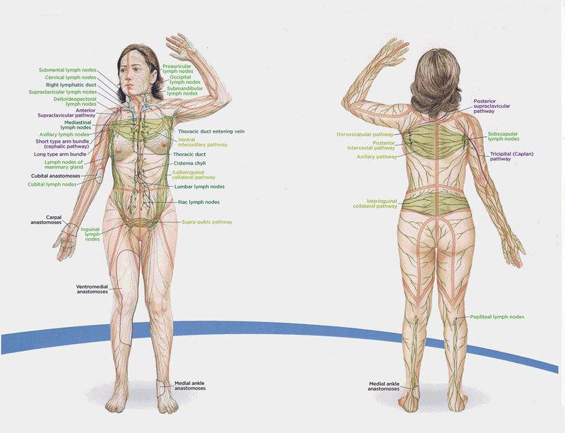 Лимфостимуляция по Костерову: оздоравливает тело и укрепляет иммунитет