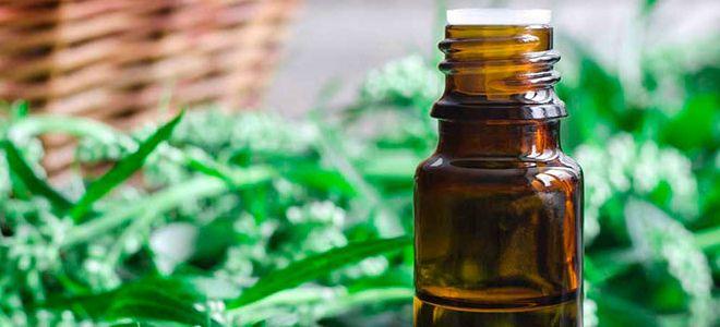 Трава полынь: лечебные свойства, показания и противопоказания для мужчин и женщин