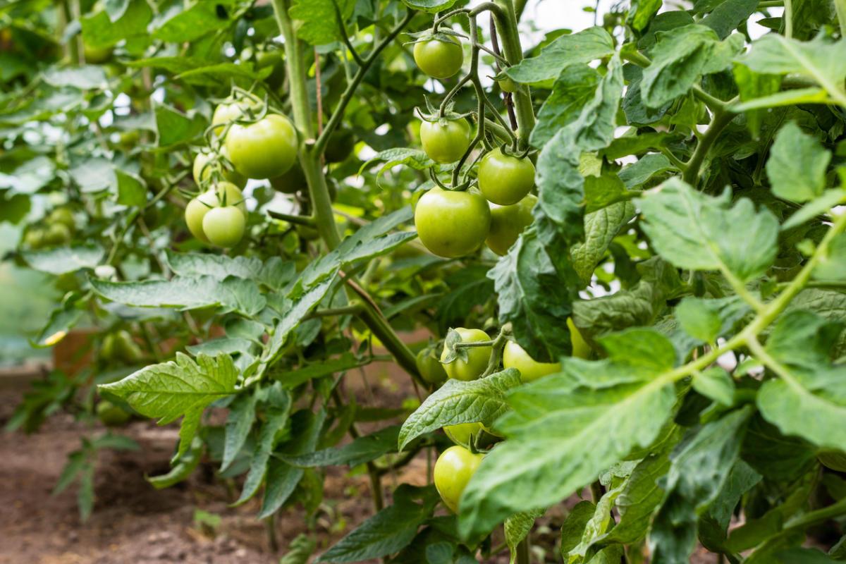 Как пасынковать помидоры: технология, особенности для разных сортов томатов