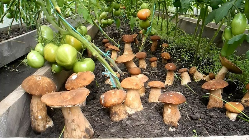 Белые грибы растут прямо на подоконнике! Захотел — добавил в суп, захотел — в картошку.