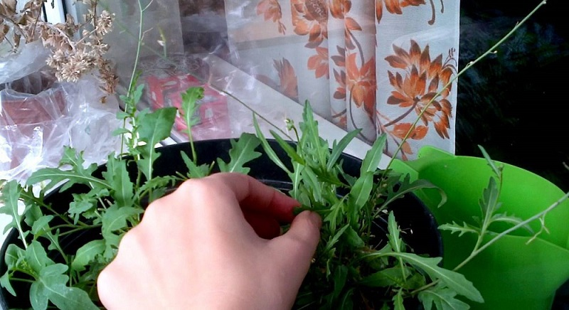 10 свойств рукколы, о которых многие даже не догадываются. Сложно поверить, но эта полезнейшая трава спасает даже от…