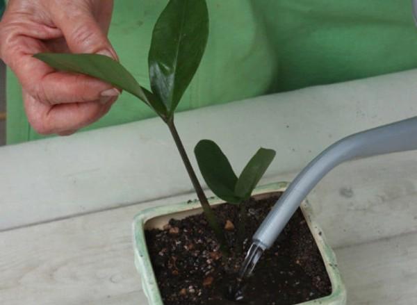 8 секретов ухода за долларовым деревом, чтобы оно зацвело