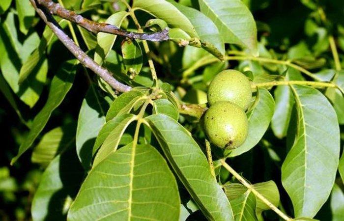Настойка зеленого грецкого ореха защитит от болезней! Воспользуйтесь этим ценным рецептом, чтобы укрепить здоровье