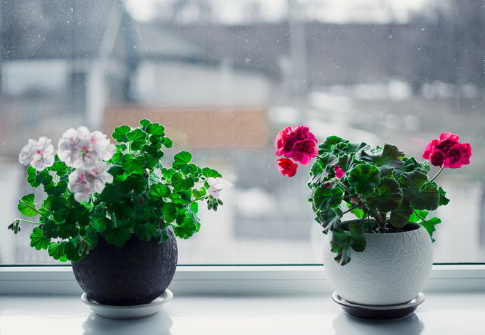 Перекись водорода для комнатных цветов-бальзам в зимнее время!